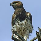 Martial eagle by Anthony Goldman