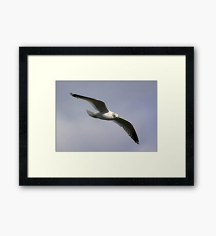 Common Gull Framed Print