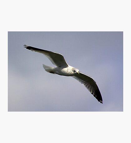 Common Gull Photographic Print