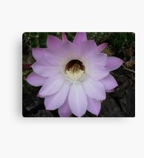 One night stand! (Echinopsis hybrid) Canvas Print