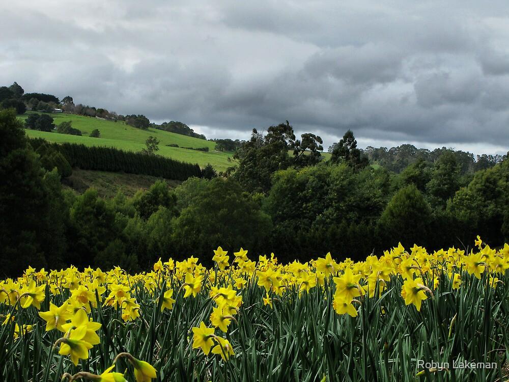 Daffodil fields by Robyn Lakeman