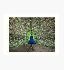 Peacock at Vicki's  Art Print