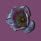 Late Spring Tulip by Steve Wilbur