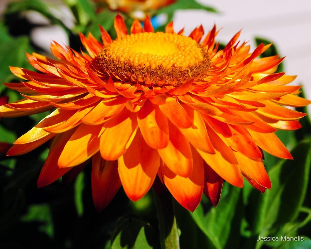 Straw Flower Bliss by Jessica Manelis