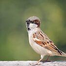"""""""Un"""" common Sparrow by Bharat Varma"""