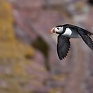 Atlantic Puffin in Flight - Newfoundland Canada by Raymond J Barlow