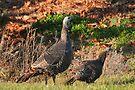 Wild Turkeys by Lynda   McDonald