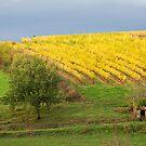 Glow of Fall Vines, Quessac Les Vignes by A.M. Ruttle