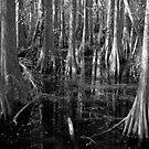 Cypress by Frank Bibbins