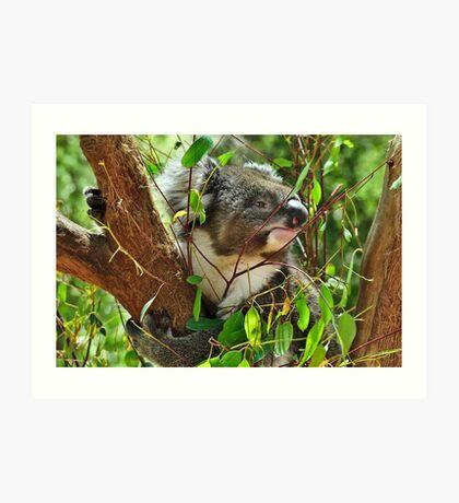 Koala at Healesville Art Print