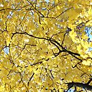 Golden  by MarjorieB