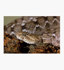 Saw scale viper Photographic Print
