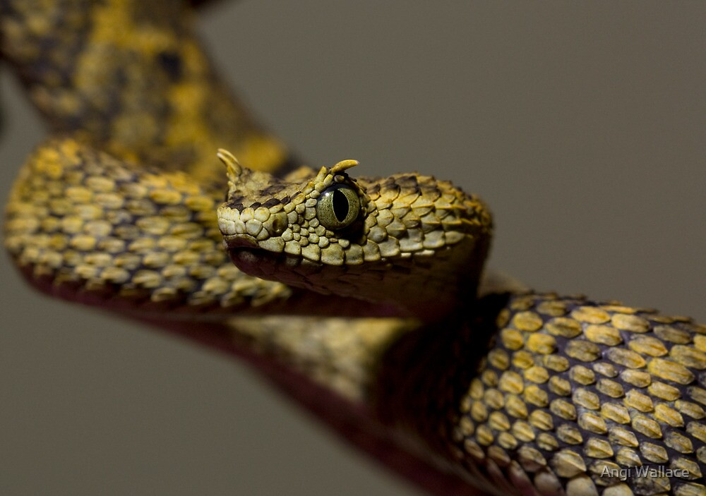 Horned Bush viper by Angi Wallace