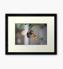 Caligo Atreus (Queen Owl) Butterfly Framed Print