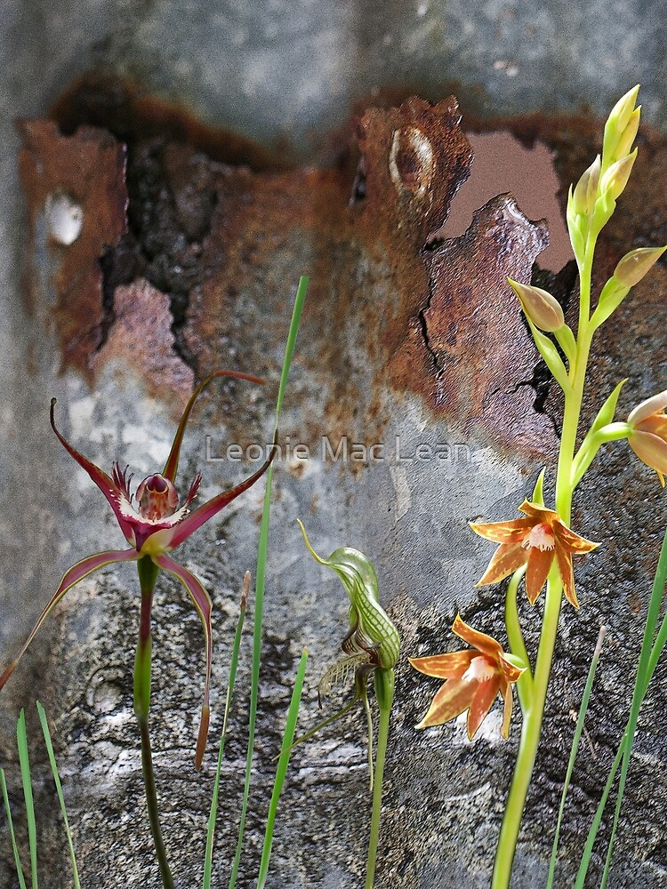 Rusty Spider & Orchids with Rusty Tin, native orchids of Australia. by yallmia