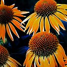 Cone Flowers >> by JuliaWright
