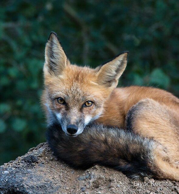 Fox Look by Eivor Kuchta