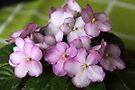 African Violets on Green Tablecloth by coffeebean