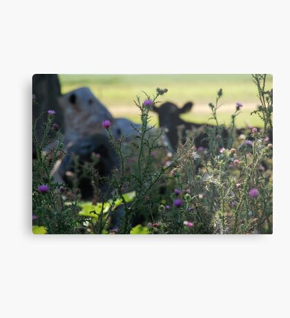 The shy cow Metal Print