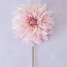 Cafe au Lait Dahlia in soft blush pinks by Zoe Power