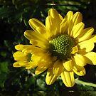 Sunlit Yellow Autumn Dahlias in Mirrored Frame von BlueMoonRose