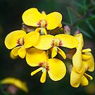 Dillwynia elegans, Woodford by David Mapletoft