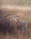 Marking Buck by Rodney55
