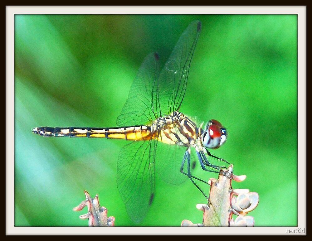 Dragonfly by nantid
