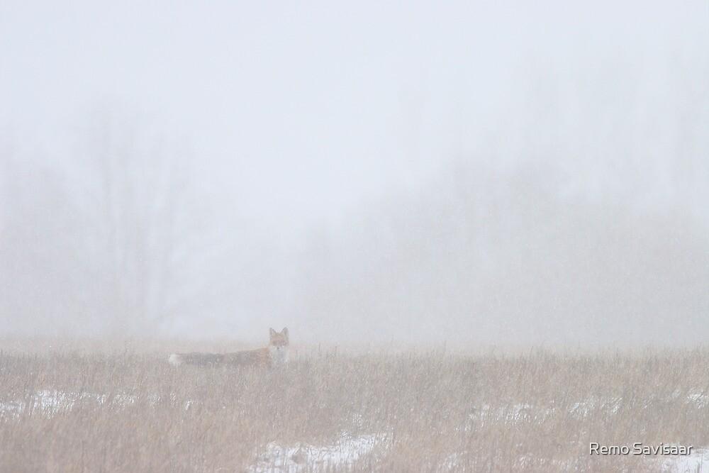 Red fox in snowstorm by Remo Savisaar