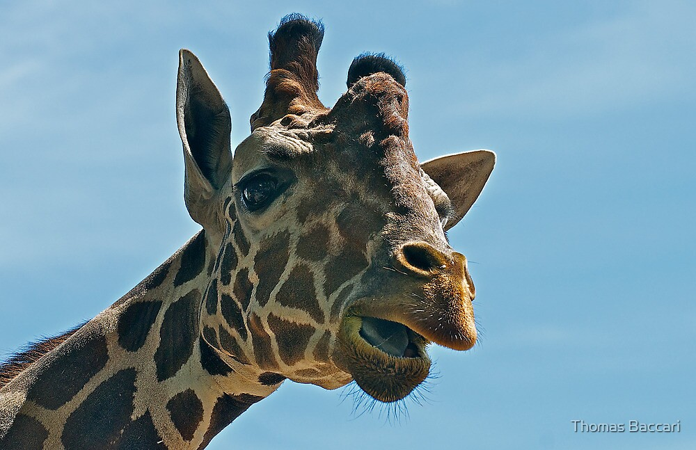 Giraffe SAYING Hello by TJ Baccari Photography
