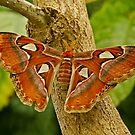 Atlas Moth by Robert Abraham