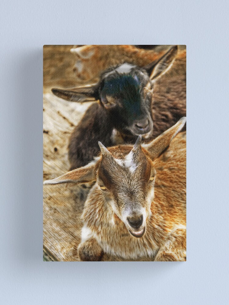 Alternate view of Goats in the barnyard Canvas Print