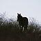 Horse(s) in Silhouette