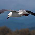 Silver Gull (seagull) #2 by Odille Esmonde-Morgan