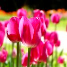 Tulips by BlaizerB