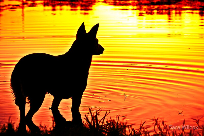 Quot Silhouette Of A Blue Heeler Quot By Sara Wilcox Redbubble
