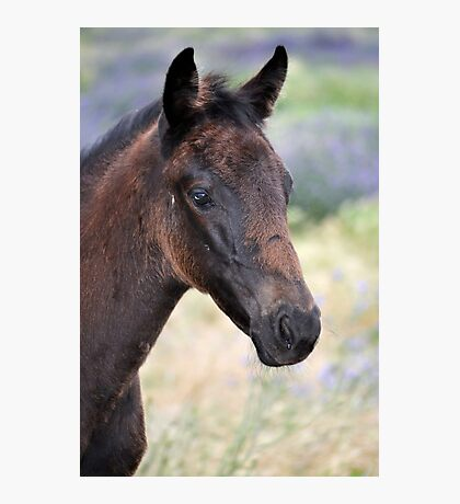 Black Beauty's Filly Foal Photographic Print