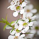 Tea tree - Leptospermum by Malcolm Garth