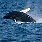 Humpback Whale - Newfoundland, Canada by Raymond J Barlow