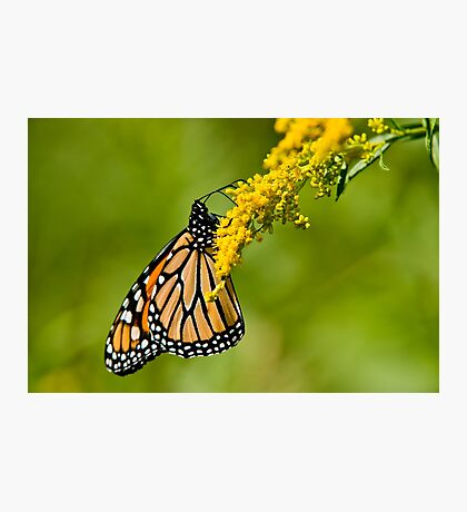Monarch Butterfly - 36 Photographic Print