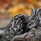 Eastern Screech Owls by Nancy Barrett