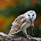 Barn Owl with Dinner by Nancy Barrett