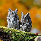 Eastern Screech Owl Pair by Nancy Barrett