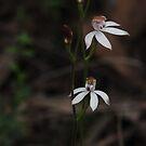 Caladenia moschata by Colin12