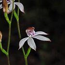 Caladenia moschata closer by Colin12