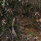 Caladenia montana by Colin12