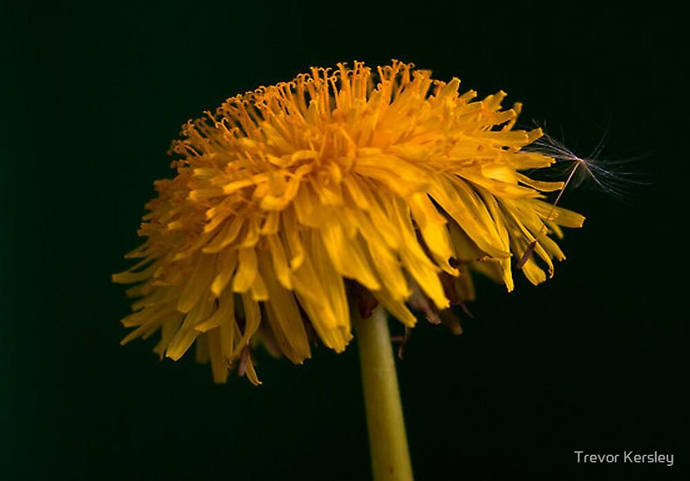 Dandelion by Trevor Kersley