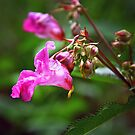 Indian Touch-Me-Not - Impatiens glandulifera Royle  by jules572