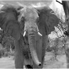 UP CLOSE AND PERSONAL WITH ELEPHANTS - SERIES  3 by Magriet Meintjes