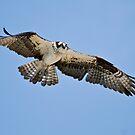 Osprey - Ontario Canada by Raymond J Barlow